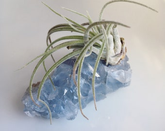 Tillandsia Air Plant mounted on blue Celestite crystal geode.