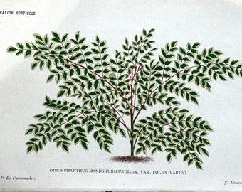 DIMORPHANTHUS MANDSHURICUS Linden Antique Botanical Vintage Foliage Print 1886