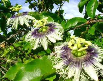 LIVE Passion Fruit Vine Potted Seedling 12-24+ Inches Passiflora edulis