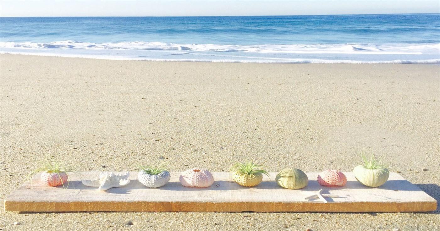 Sea Urchin Air Plants / Beach Decor / Wedding Decor / Beach Wedding ...