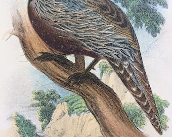 1896  KOKLASS PHEASANT Original Antique Chromolithograph - Ornithology - Pheasant - Bird Decor - Wall Decor - Decorative Print - Game Birds