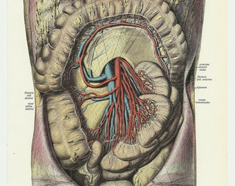 Guts Vintage anatomy Illustration 1933
