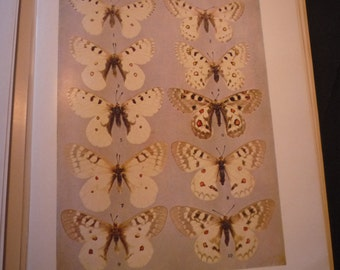 Butterflies - Cream spotted winged beauties - 1945 color plate - vibrant color prints - Natural world framable W J Holland