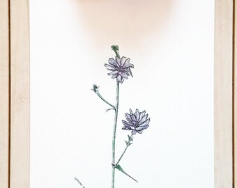 Flower Ink drawing, ink illustration, watercolor and ink, plant art, botanical drawing, Chicory flower, farm flowers, original ink sketch