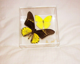 Real Birdwing Butterfly with Lemon Yellow Accent Butterfly