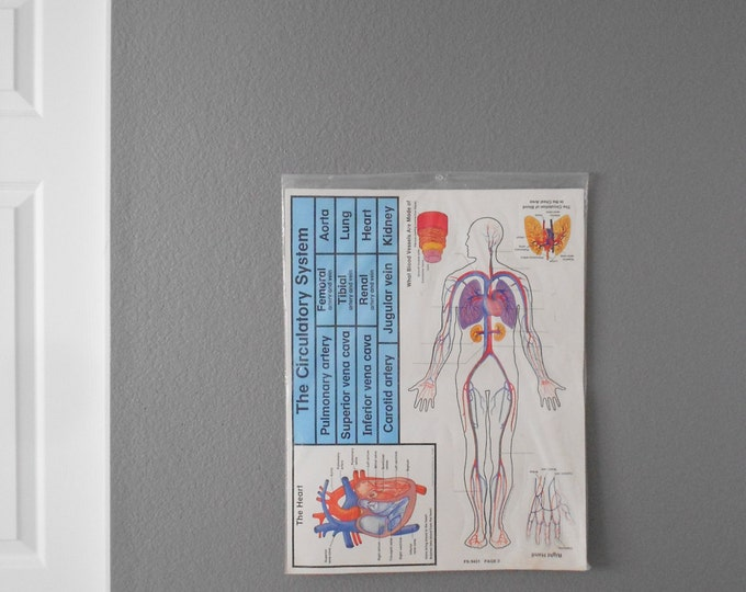 1980s circulatory system chart poster size / human body / anatomical / medical / school