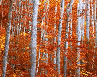 Autumn Leaves, Fall Photography, Landscape Photography, Yellow Leaves, Modern Wall Art for Living Rooms,