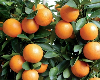 KUMQUAT 1' Tall Tree Live Citrus Fruit Trees Plants Orange Fruits Meiwa Nagami Marumi Seedling Starter Plant Sweet Edible Landscaping