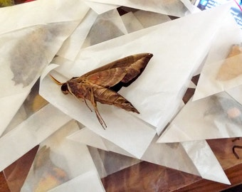 Unmounted Dried Moths - Lot of 5