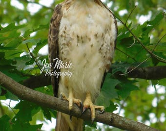 Juvenile Red-Tailed Hawk 8x10 Print Photo Picture