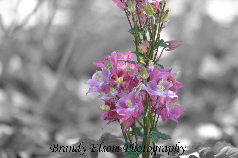Blume Fotografie Floral Art rosa Akelei Blumen gewölbten