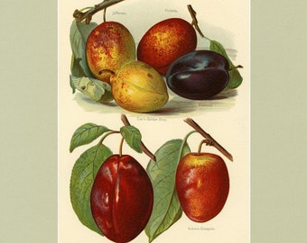 "Gorgeous Matted Antique Fruit Print  ""Plums"" C. 1891 Fruit Grower's Guide   Botanical Decor 11x14"""
