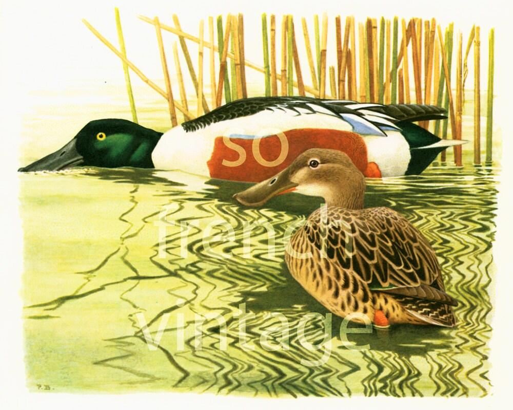 1961 Vintage duck print Shoveler print Duck wall art