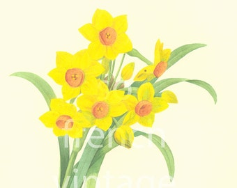 Daffodil Narcissus Large Size Redoute Vintage Botanical print Nature wall art