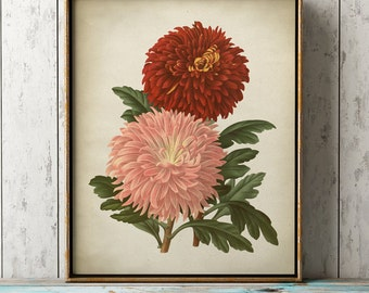 Chrysanthemums BOTANICAL print, pink and red chrysanthemums, flower art, vintage Botanical illustration, botanical wall decor