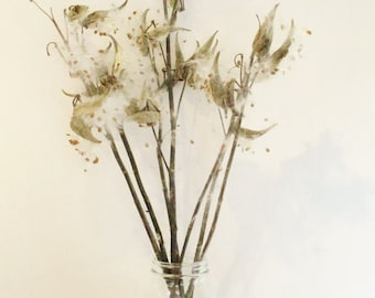 Milkweed Pods, Dried Pods on Stems, Dried Floral Arrangement, Asclepias Syriaca, Floral Crafts, Seed Pods for Dried Wreaths and Bouquets