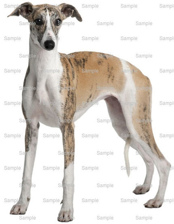 Whippet With Cake