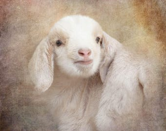 baby goat animal photography, nursery art, white farmhouse rustic decor, square art, goat print, farm photography