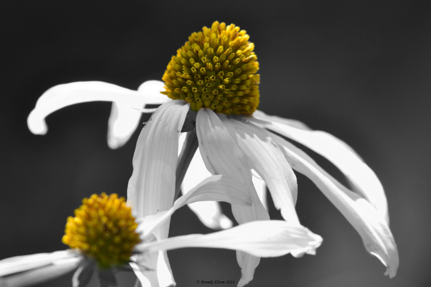 Flower Photography Coneflowers Home Decor Wall Decor Black And