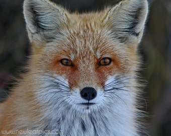Red Fox Photograph, Animal Photography, Gifts for Him, Orange and Black Nature Wall Art, Fox Wall Decor, Fox Print, Child's Wall Art,