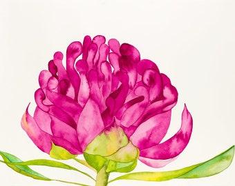 Pink Waratah - A3 Fine Art Print