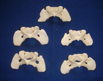 Coyote atlas vertabrae bone
