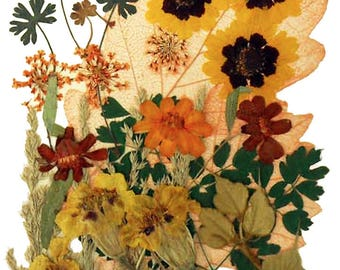 Pressed flowers mixed, garden tickseeds, lace flowers, zinnia, marigold, foliage for floral art, craft, card making, scrapbooking