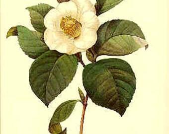 Redoute Botanical Print -  CAMELIA - 14
