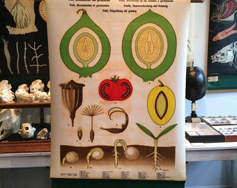 Vintage botanical, fruit and germination anatomical chart