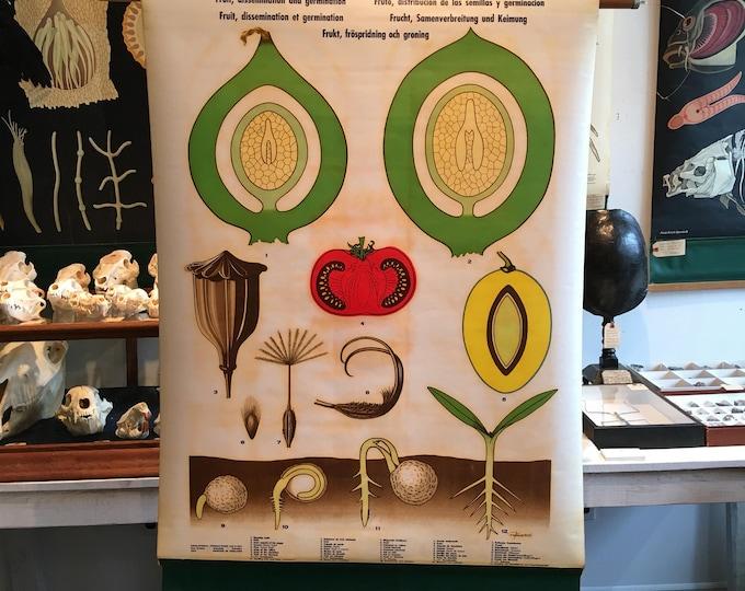 Vintage botanical, fruit and germination anatomical chart