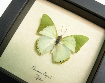 REAL SAGE GREEN BUTTERFLY FRAMED CONSERVATION DISPLAY 384