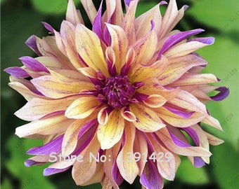 Dahlia Bulbs, (not Dahlia Seeds), Holland Dahlia Flower 3 Bulbs (item No: 10)