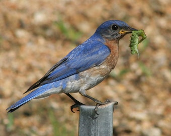 ID2642 1  DIGITAL  Bird Photograph Image  of a Bluebird