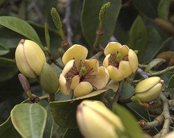 BANANA BUSH Shrub Plant Fragrant Pale Pastel Yellow Pink Flowers Starter Size 4 Inch Pot Emeralds TM