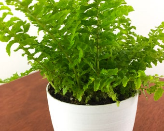 Baby Fern Air Purifying Plant - Pet Safe Live Houseplant, Housewarming Present, Gardening, Unique Gift, Party Favor, Indoor Garden