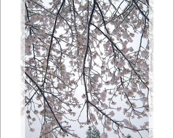 Spring Snow (Blanketed Blossoms)