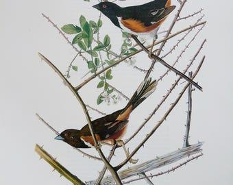 Vintage Audubon Bird Print - Towhee - 1970s Large Book Plate, Colour Bird Print