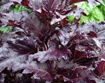 "BASIL SEEDS ""Purple Ruffles Basil"" Heirloom herb seeds"