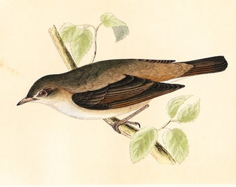 Antique Garden Warbler Print . original old vintage bird plate woodblock . vol III, dated 1853 art specimen illustration