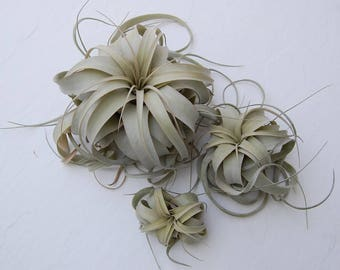 Tillandsia Xerographica Air Plant  (No soil needed!)