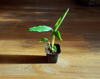 Indian cardamon,Java cardamon ( Amomum villosum ) * 1 PLANT * NEW!