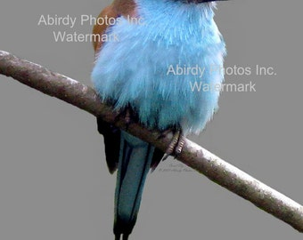 "Photo - Racquet_tailed Roller on Branch 8"" x 10""   #0374_40_2007"