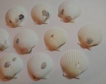 White Scallop Shells - From Crystal River, FLorida - Freshly Caught - Shells - Seashells - White Seashells - 10 Natural Shells  #140