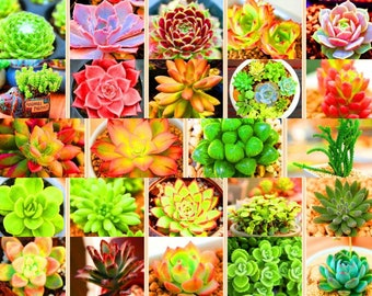 Lithops Seeds 100 Pack Mixed / rare succulent seeds / lithops seeds for sale / lithops seed mix *