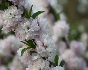Flowering almond etsy flowering almond bush fine art photography print glossy mightylinksfo