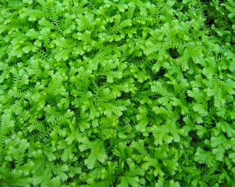 Selaginella Emerald Isle Spikemoss