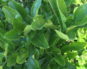 60 Double Fresh Kaffir Lime Leaves, Thai Gourmet Herbs Citrus Hyst, Hand Picked When Ordered