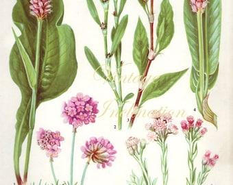 HERBS KNOTGRASS herbs Vintage Botanical Print Antique, plant print 127 botanical print, bookplate art print, herb plants plant wall print