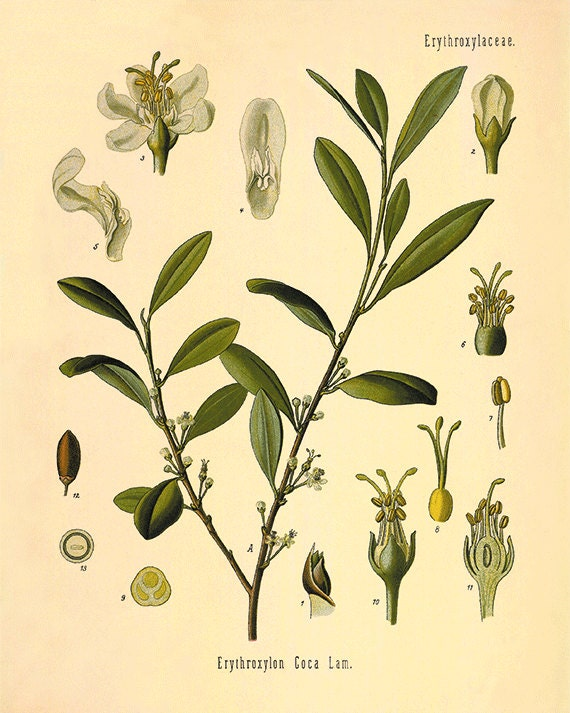 Coca plant art print antique kitchen art print botanical art