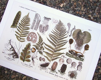 Botanical Educational Chart of Woodland Ferns Archival Print